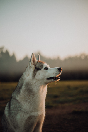 Siberian grey husky dog stands and looks ahead. green trees and grass are on the background.