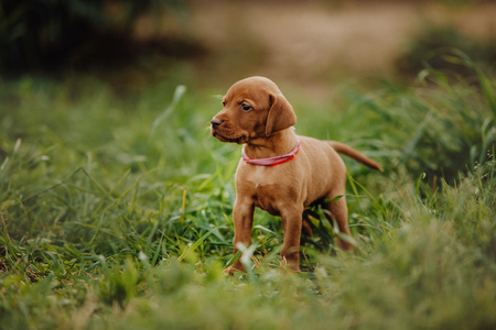 portrait of cool cute puppy Hungarian pointing dog, vizsla stay on grass. brown background