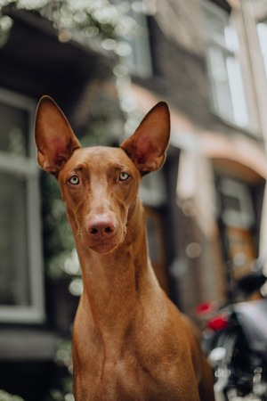cool portrait Pharaoh hound dog sit . old town on backgroundcool Pharaoh hound dog sit . old town and bicicle on background