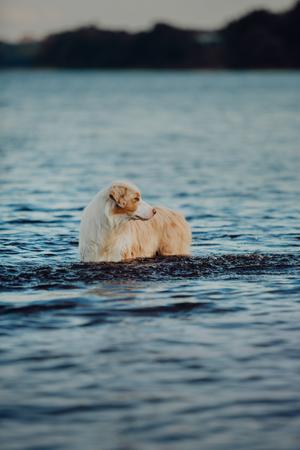 cool Portrait of Australian shepherd dog stay on water in lake