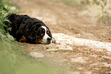 amaizing portrait beautiful sad Bernese mountain dog lay on rock . green mountain on background