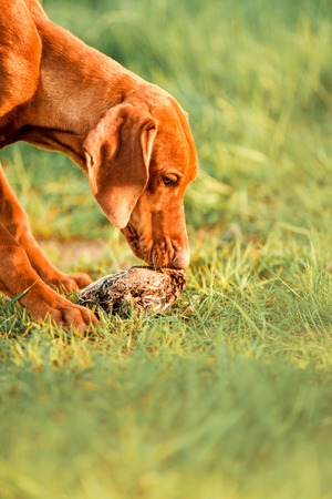 cool Hungarian pointing dog, vizsla stay on grass. grass on background