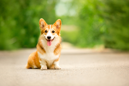 cute happy Welsh corgi dog sit on road. green aley on background