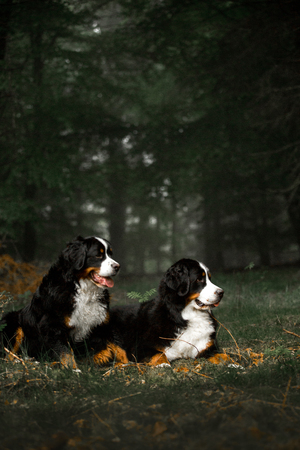 amaizing two Bernese mountain dogs lay on foliage . dark forest on background