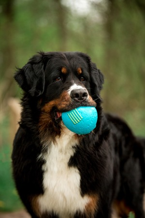 amaizing portrait Bernese mountain dog with ball. green trees on background