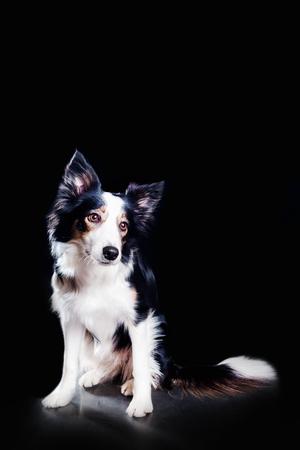 portrait cute border collie dog sit . black background studio Фото со стока