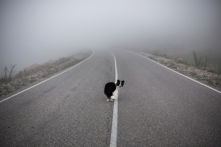 black and white dog border collie stand on road in fog