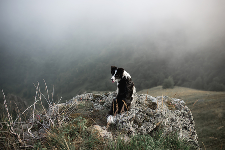 black and white dog border collie sit on rock in fog with flowers in mountain
