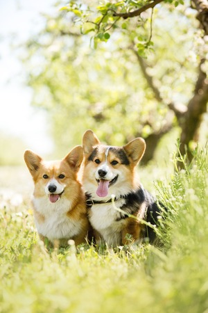 two cool corgi dog in the sunny park