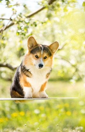 amaizing corgi dog sit in the sunny park on grass and smiling Archivio Fotografico