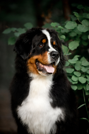 amazing portrait beautiful happy Bernese mountain dog in forest Stock Photo