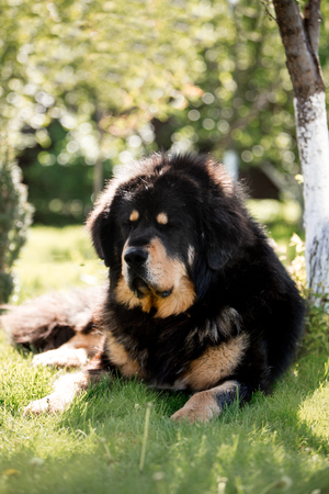 amaizing Tibetan mastiff dog lay in the sunny green park in grass beiside tree