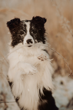 Young Female black and white Border Collie stay In Snow During Sunset. winter forest on background