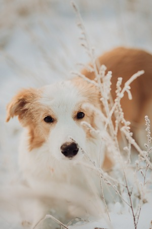Young puppy red Border Collie stay In Snow During Sunset. winter forest on background Banco de Imagens