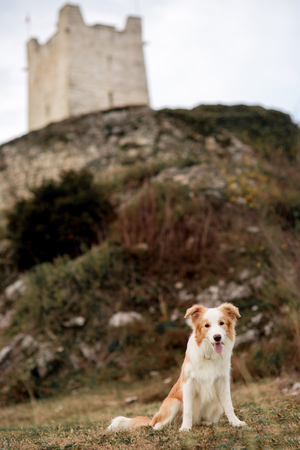 Red border collie dog sit in field in mountain. castle on background Banco de Imagens