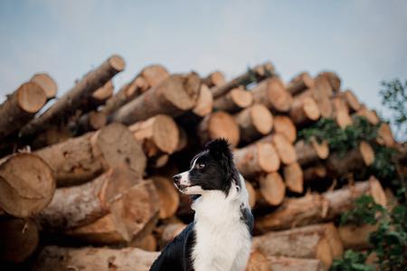 black and white border collie dog sitting. logs background