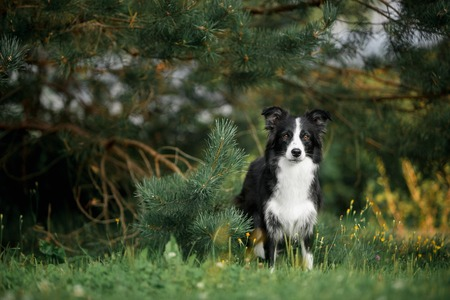Cute black and white border collie stay in forest under tree 写真素材