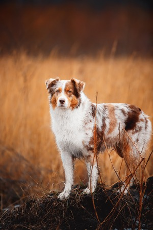 Portrait of dog border collie in field of gold. a field of cereals