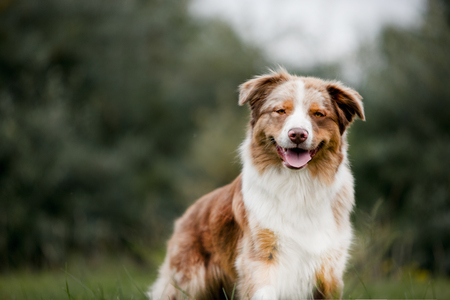 Portrait of chocolate dog border collie in forest