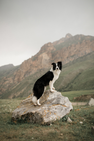 beautiful black and white dog border collie stay on a rock in field and look in camera. in the background mountains. space for text