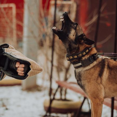 Des gardes de berger allemand agressifs aboient. photo d'art Banque d'images