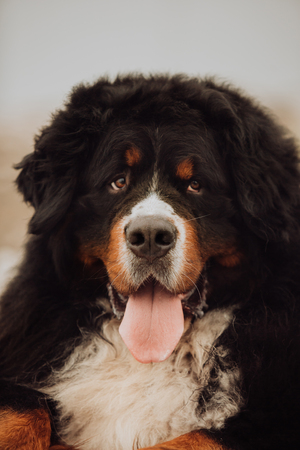 portrait Bernese mountain dog. cute smile tongue 版權商用圖片