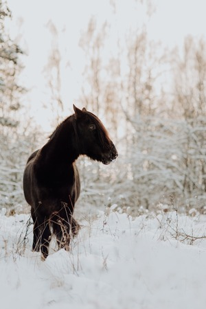 Black horse stand in winter on the white snow in forest Stock Photo