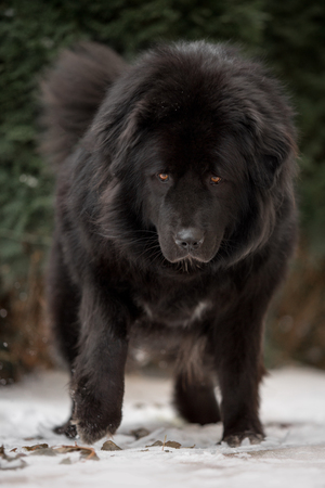Big black tibetan mastiff in the green winter nature