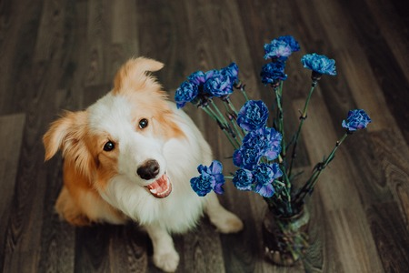 cute happy dog border collie makes a funny pose and sticks his tongue and bring flowers