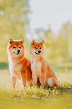 Beautiful puppy and dog sits on the field in colors. Siba Inu Dog