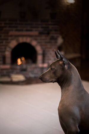 angry grey Thai Ridgeback dog stay in home 스톡 콘텐츠
