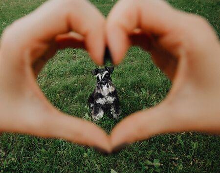 black miniature Schnauzer on the grass heart in love