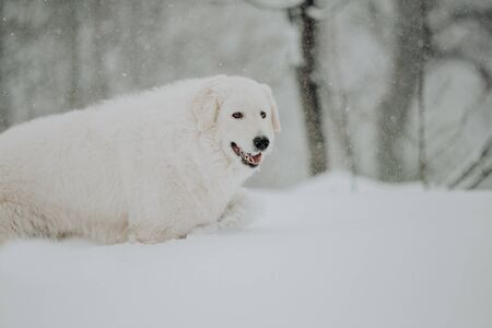 white dog Maremma in the forest in the mountains in nature Banque d'images