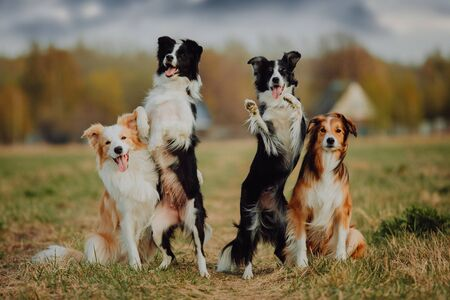 group of happy dogs border collies on the grass in summer Banco de Imagens