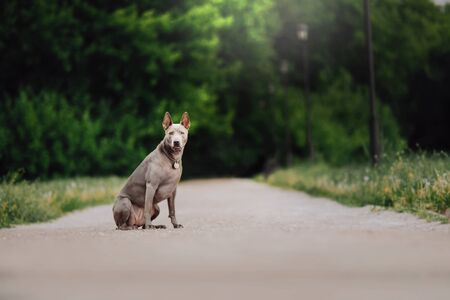 two Thai Ridgeback dog playing on the grass, outdoor