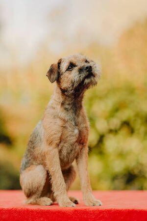 Griffon Bruxellois puppy sits on the street autumn Imagens