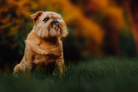Brussels Griffon dog walks in the green forest on the street Imagens