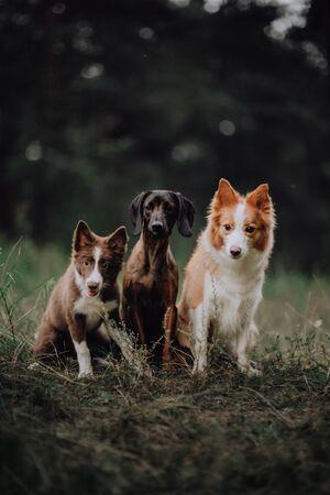 happy dog border collies on black background Imagens