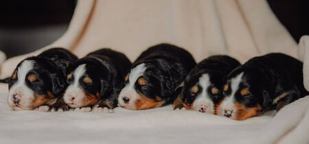five new born puppies Bernese mountain dog on white background