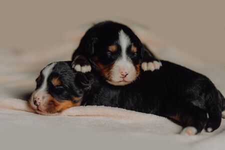 two new born puppies of Bernese mountain dog on white background Imagens
