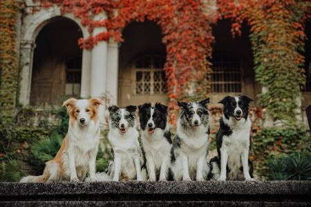 group of happy dogs border collies sitting on the grass in summer, europe Imagens