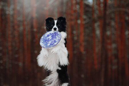 Border Collie Breed winter walk
