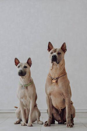 Thai Ridgeback Dog Isolated on white Background in studio