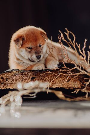 Shiba Inu puppy paws up