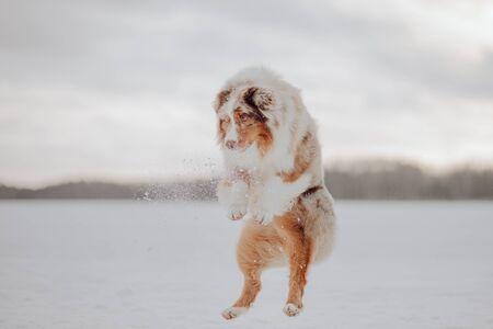 Australian shepherd dog jumping in winter