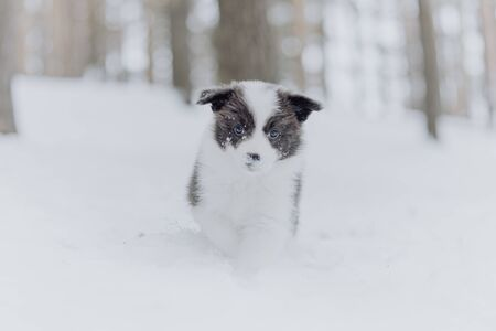 Border collie puppies black and white in he winter forest