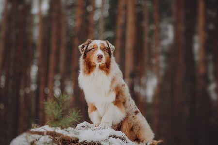 Australian shepherd dog sitting in winter