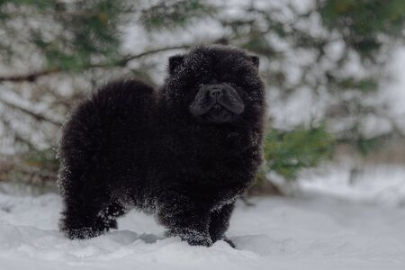 Black chow-chow dog in the snow Imagens