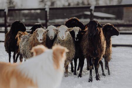 A sheepdog facing a few sheep in a dirt field.