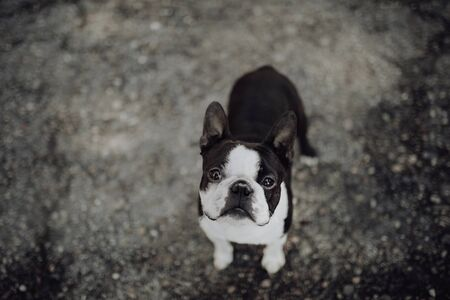 Boston terrier in a meadow in the city Imagens